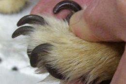 Info animaux veterinaire couper les ongles d 39 un lapin - Comment couper les griffes d un lapin ...